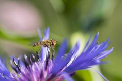 Stock Photo of Hoverfly Epistrophe sp on flower of perennial cornflower Centaurea montana