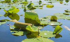 Detail of lillypads reflected on water - stock photo
