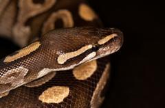 Ball python isolated - stock photo