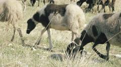 4K UHD Free range farming,flock of sheep grazing in the Greek countryside - stock footage