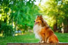 Sheltie dog for a walk in the park. Stock Photos