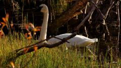 Golden Light Swan and Dragonfly in Autumn HD Stock Footage