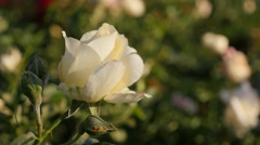 Beautiful  white rose  flower bud in the garden slow moving on the wind 4K  - stock footage