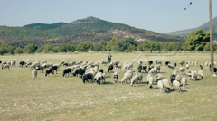 4K UHD Free range farming,flock of sheep grazing in the Greek countryside Stock Footage