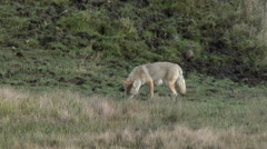 Coyote, Yellowstone National Park Stock Footage