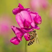 Western Honey Bee Apis mellifera on the flower of a Sweet Pea Lathyrus sp Stock Photos
