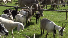 Transhumance in the Alps: goats, cattles and sheeps. Stock Footage