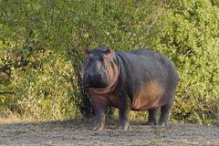 Hippo Hippopotamus amphibious in the morning light Amboseli Kenya Africa - stock photo