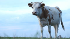 Cow on green grass Stock Footage