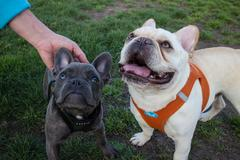Two Young French Bulldogs, one Grey, One White, pause at a Dog run Stock Photos