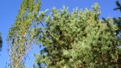 Stock Video Footage of tops of pines against the blue sky