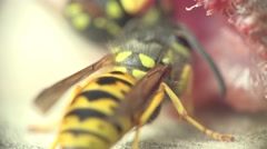 Insect wasp eats meat, is it in the slot, macro, 4k Stock Footage