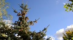 Stock Video Footage of The tops of spruce against  blue sky