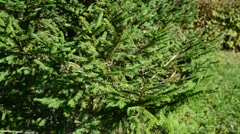 Young spruce twigs in  summer park Stock Footage