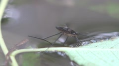Stock Video Footage of Gerridae water bug, nature of the ability to walk on water, macro, 4k