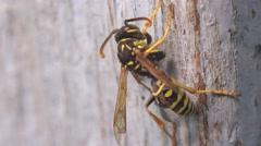 Insect wasp sits on a wooden board, macro, 4k Stock Footage