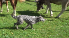 Pastoral dog in action on cattles, FHD Stock Footage