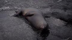 Galapagos Sea lion Stock Footage