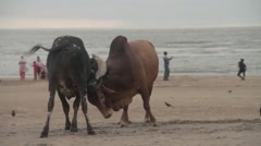 Indian Cow fighting at the beach. Stock Footage