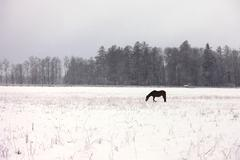 Horse in a snowy field - stock photo