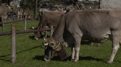 Transhumance in the Alps: cowbells and bellows concert . Stock Footage