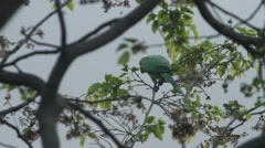 Indian Parrot on the tree stem. Stock Footage