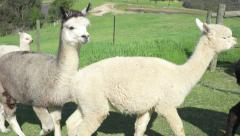 Group of alpacas Stock Footage