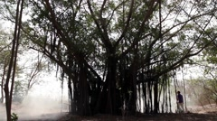 Still of a Indian Peepal Tree. Stock Footage