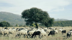 Free range farming,flock of sheep grazing in the Greek countryside - stock footage
