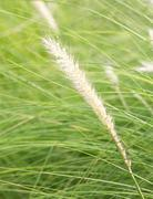 Imperata cylindrica Beauv of Feather grass Stock Photos