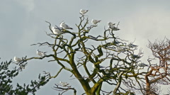 Lot of seagulls sitting on bare branches dry tree Stock Footage