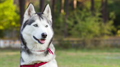 Husky looks around. Dog sits on lawn near forest. Stock Footage