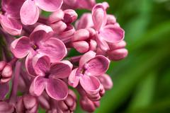 Beautiful spring delicacy lilac flowers Stock Photos