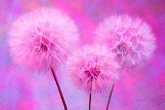 Colorful Pastel Background - vivid abstract dandelion flower Stock Photos