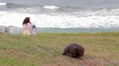 Echidna (Australian monotreme) near ocean in Australia Stock Footage