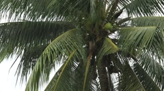 Tropical rain drops falling on the large palm tree leaves, Thailand Stock Footage