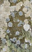 Lichen on Scottish Gravestone Stock Photos