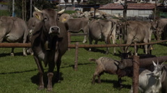 Transhumance in the Alps: a cattle watching around, Stock Footage