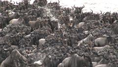 Big herd of Wildebeest (Connochaetes Taurinus) crossing the Mara river Stock Footage