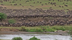 Wildebeest gathered on Mara river edge Stock Footage
