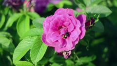 Flower of wild rose. This and similar videos in my portfolio 1920x1080 Stock Footage