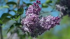 Flower Lilac. This and similar videos in my portfolio 1920x1080 Stock Footage