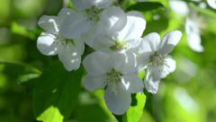 Flowers. Apple. This and similar videos in my portfolio 1920x1080 Stock Footage