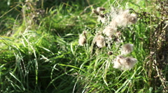 4K thistle surrounded by blades of grass waves in wind with sunlight shining Stock Footage