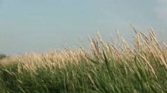 Waving grasses in the wind. Stock Footage