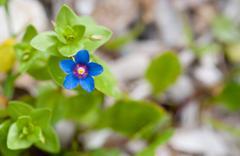 Blue Anagallis arvensis or Scarlet pimpernel  flower Stock Photos