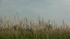 Waving grass in Friesland. (Netherlands) Stock Footage