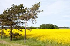 rape field and trees - stock photo