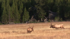 Pair of Bull  Elk Showing Off in a Meadow During the Fall Rut - stock footage