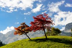 two trees with beautiful fall colors - stock photo